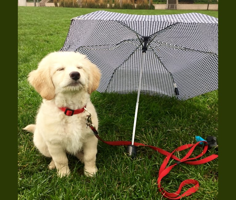 Photo of Finnegan, a Poodle (Small), Labrador Retriever, Poodle (Standard), and Mixed mix in Ridgefield, WA, USA