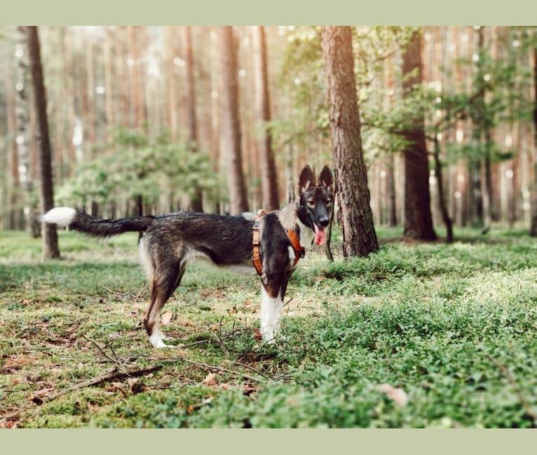 Photo of Tesla, a Siberian Husky, German Shepherd Dog, Alaskan-type Husky, Czechoslovakian Vlcak, and Alaskan Malamute mix in Jesionna, Polska