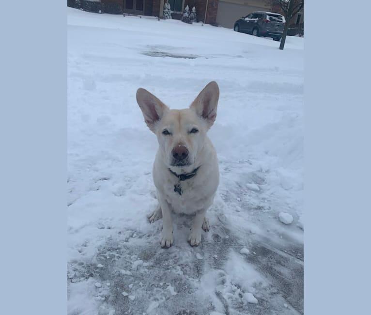 Photo of Molly, an American Pit Bull Terrier, German Shepherd Dog, Alaskan Malamute, Labrador Retriever, Chow Chow, and Mixed mix in Garden City, Michigan, USA