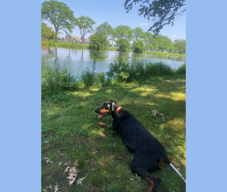 Photo of Iris, a Doberman Pinscher  in Boston, Massachusetts, USA