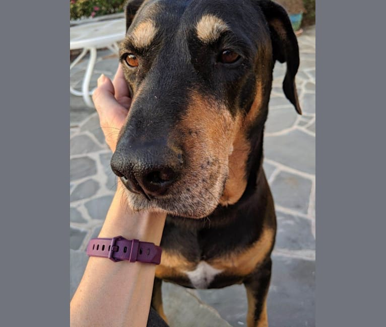 Photo of Dixon, a Catahoula Leopard Dog, Redbone Coonhound, Black and Tan Coonhound, Plott, and Mixed mix in Madison, Georgia, USA
