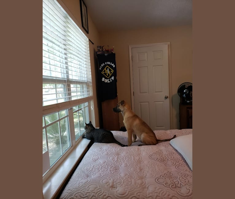 Photo of Dobby, an American Pit Bull Terrier, German Shepherd Dog, Chow Chow, and Mixed mix in Pensacola, Florida, USA