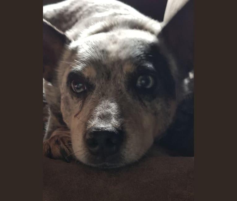 Photo of Shadoe, an Australian Cattle Dog  in Helena, Ohio, USA
