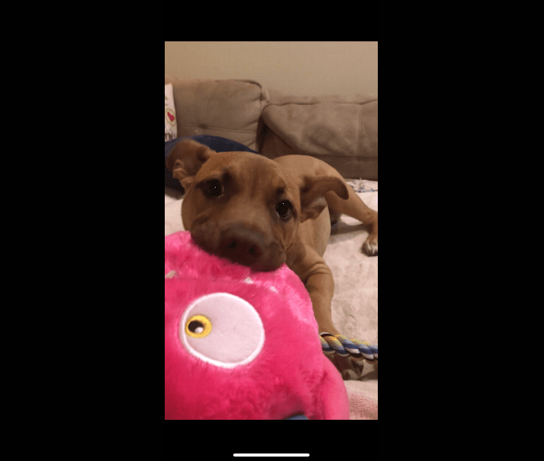 Photo of Milos, an American Pit Bull Terrier and Labrador Retriever mix in Arkansas, USA