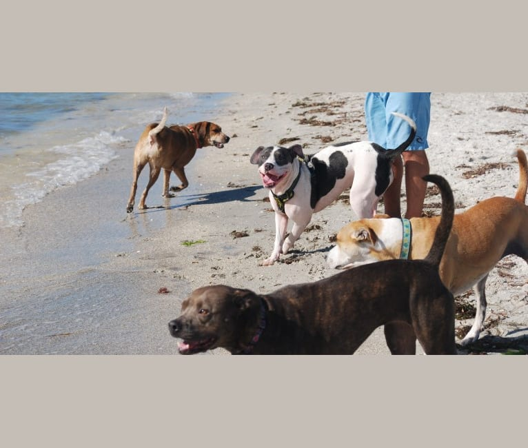 Photo of Cypress, an American Bully and American Pit Bull Terrier mix in Polk City, Florida, USA