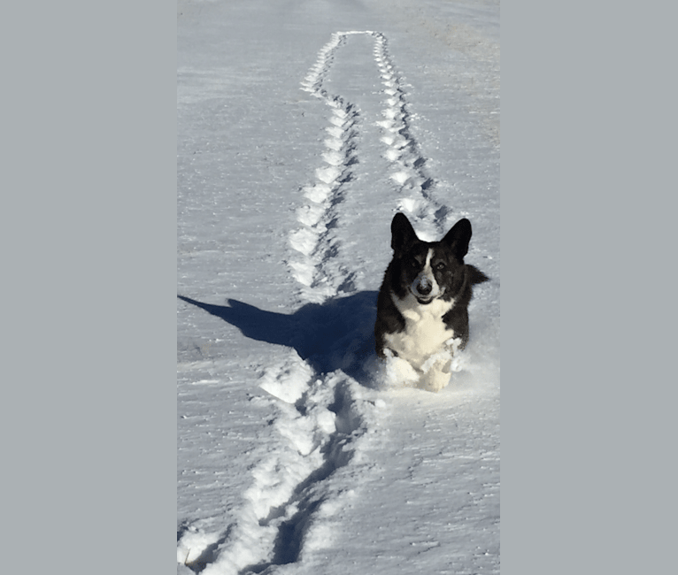 Photo of Merle, a Cardigan Welsh Corgi  in Golden, Colorado, USA