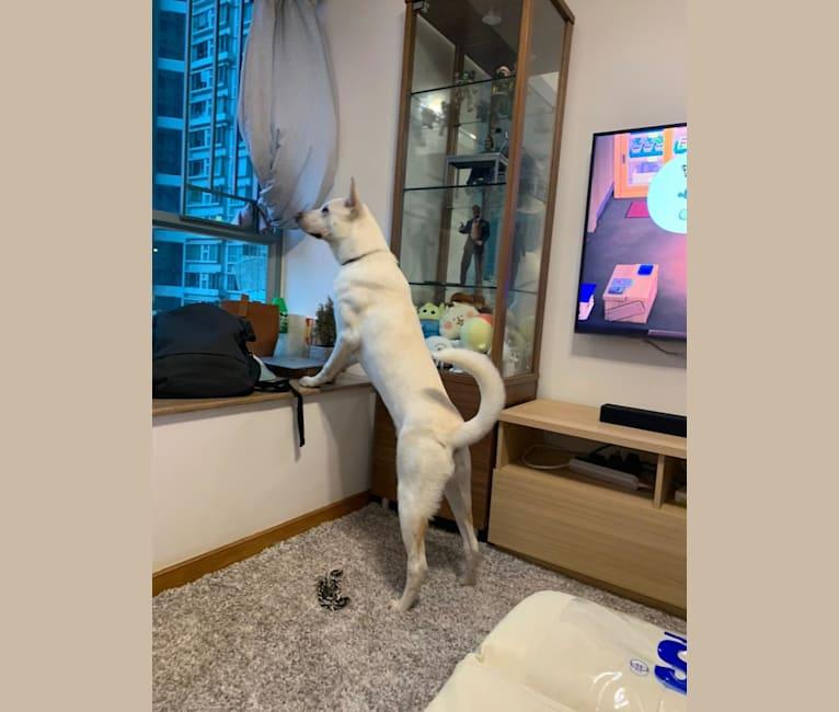 Photo of DUO DUO, a Hong Kong Village Dog  in Hong Kong