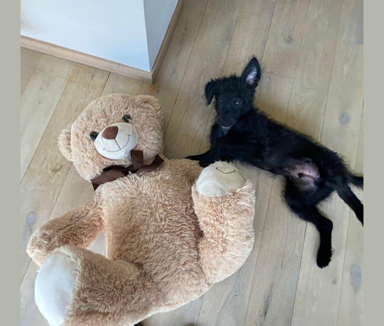 Photo of Lekszi, a Vizsla, Russell-type Terrier, German Shepherd Dog, and Mixed mix in Antwerpen, Vlaanderen, België