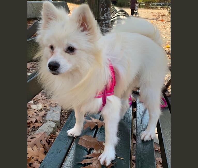 Photo of Ruby, a Pomeranian, American Eskimo Dog, Pekingese, and Mixed mix in China
