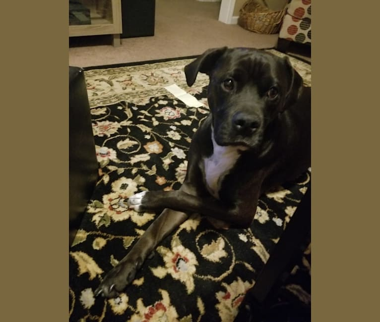 Photo of Buckley, an American Pit Bull Terrier and Boxer mix in Marion, Arkansas, USA