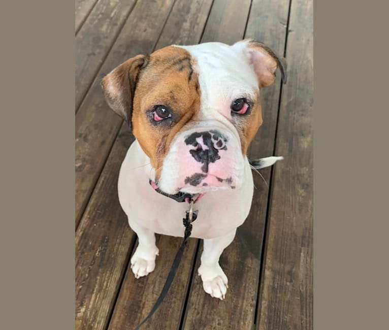 Photo of Rosie, an American Pit Bull Terrier and Bulldog mix in Wilmington, North Carolina, USA
