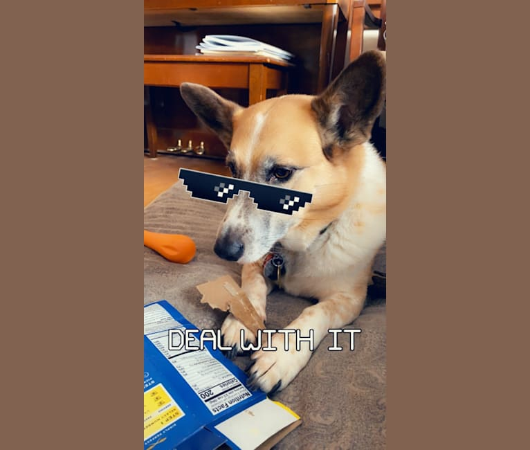 Photo of Toby, a Pembroke Welsh Corgi, Australian Cattle Dog, Chow Chow, and Mixed mix