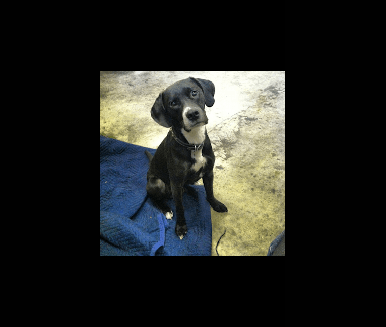 Photo of Tucker, a Labrador Retriever, American Staffordshire Terrier, Beagle, English Springer Spaniel, and Mixed mix in New Jersey, USA