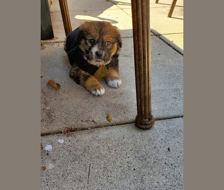 Photo of Kingston, an American Pit Bull Terrier, Chow Chow, German Shepherd Dog, Cocker Spaniel, and Mixed mix in Los Angeles, California, USA