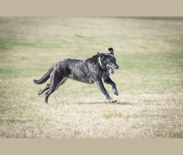 "Photo of Schimpf's Addicted to the Game (""Addie""), a Labrador Retriever and German Shepherd Dog mix in Aurora, Illinois, USA"