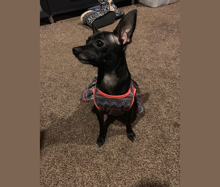 Photo of Elsa, a Chihuahua and Miniature Pinscher mix in Westfield, Indiana, USA