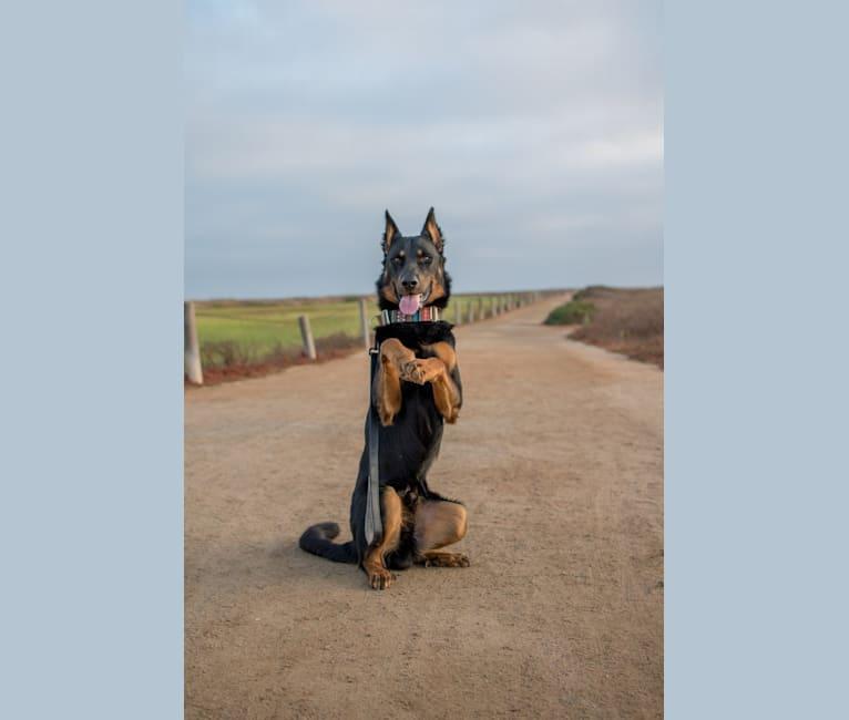 Photo of Atreyu, a Beauceron  in California, USA