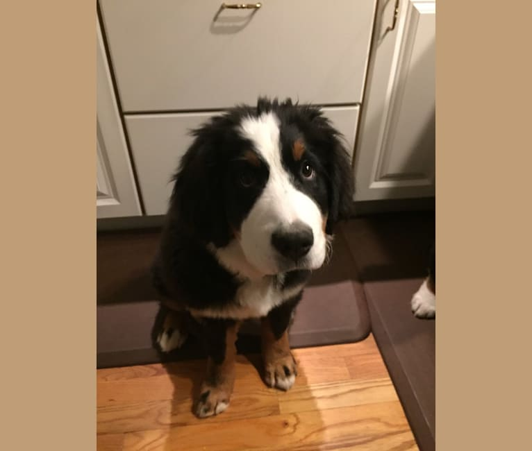 Photo of Lucy Rose, a Bernese Mountain Dog  in Fairport, NY, USA