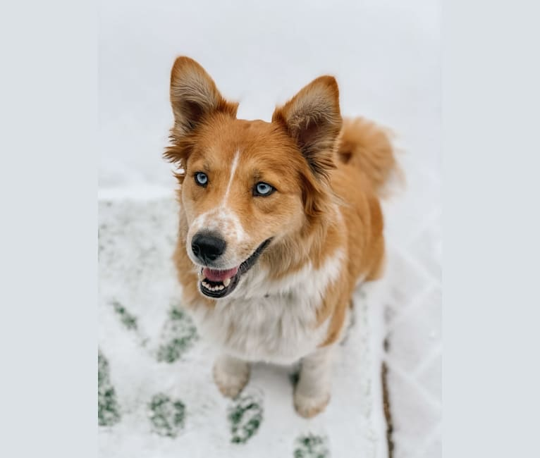 Photo of Winter, an Australian Shepherd and Siberian Husky mix in San Bernardino, California, USA