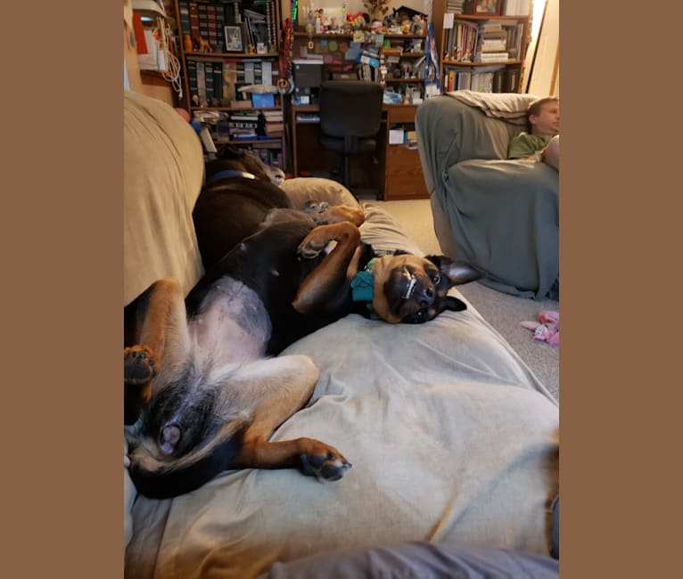 Photo of Ember, an Australian Kelpie  in Dayton, Indiana, USA