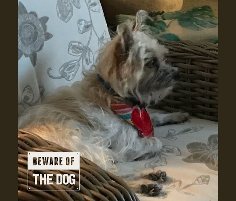 Photo of Eddie, a Chihuahua, Yorkshire Terrier, Pomeranian, and Shih Tzu mix in Naples, FL, USA