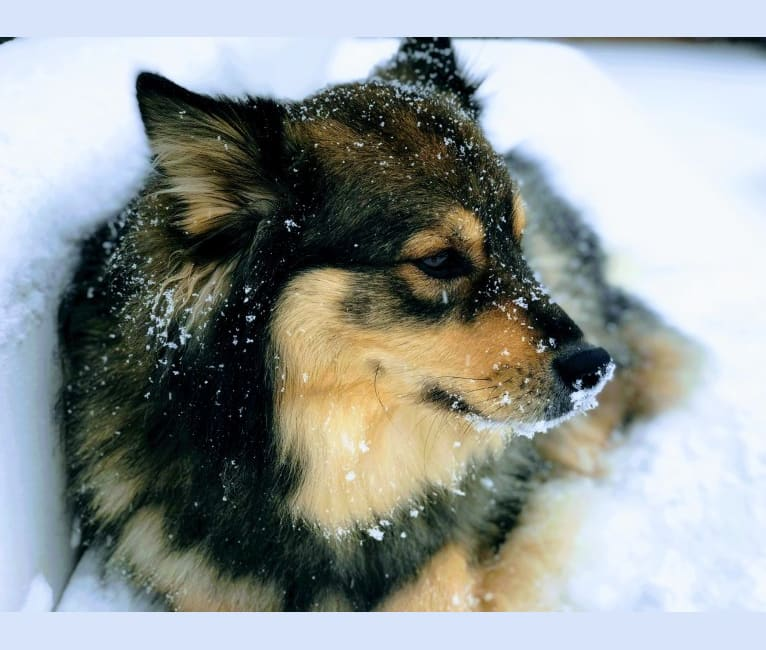 Photo of Otto, a Finnish Lapphund  in New Hampshire, USA
