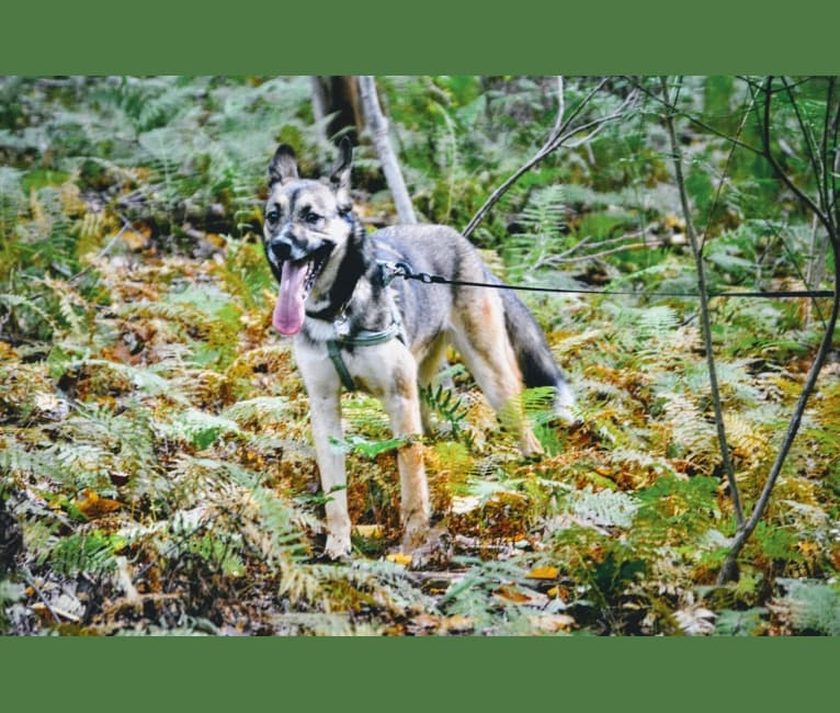 Photo of Madeline, a Siberian Husky, American Pit Bull Terrier, Boxer, and Alaskan Malamute mix in Tennessee, USA