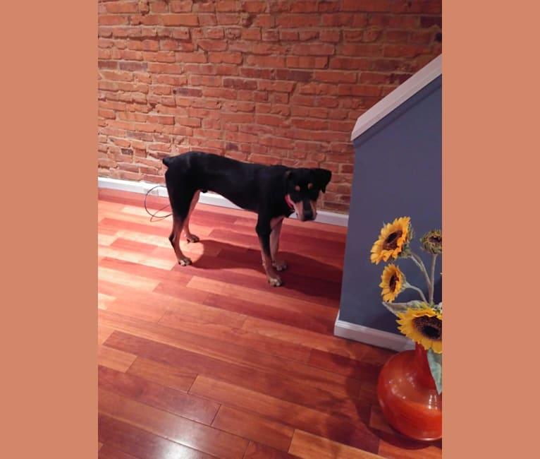 Photo of Jax, a Rottweiler, German Shepherd Dog, and Mixed mix