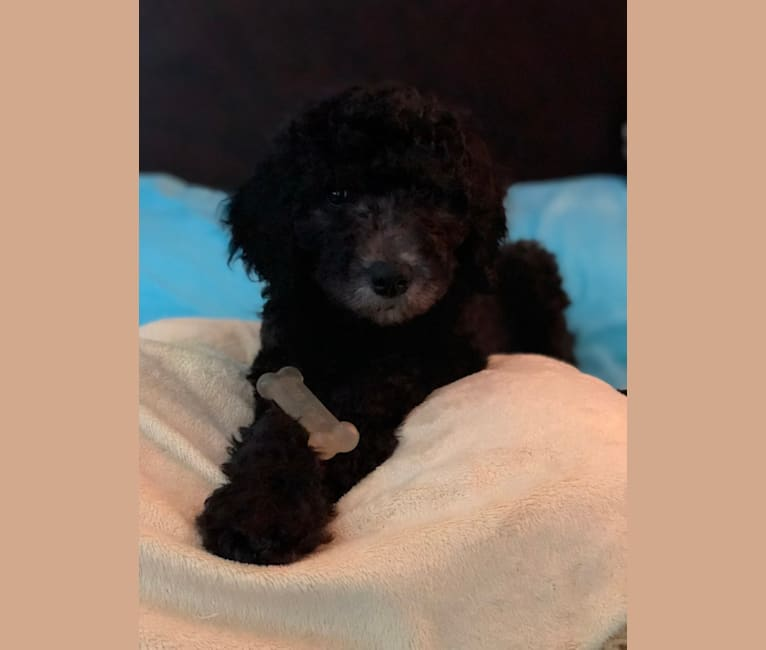 Photo of Colt, a Labradoodle  in Georgia, USA