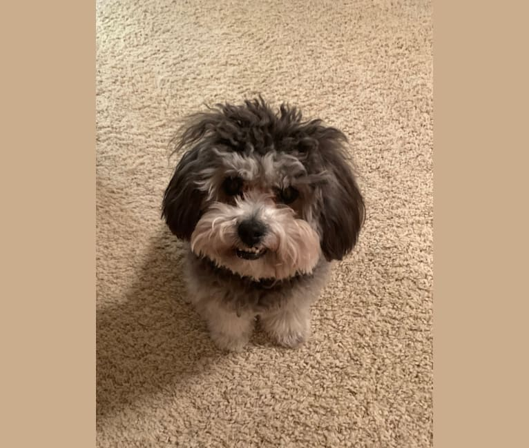 Photo of Bear, a Poodle (Small), Shih Tzu, and Pomeranian mix in Noblesville, IN, USA