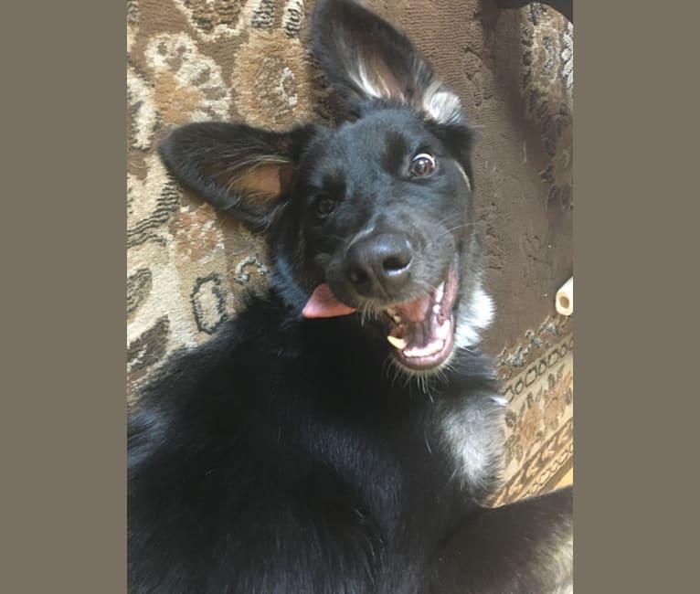 Photo of Zoey, a Siberian Husky, Saint Bernard, Bloodhound, and Australian Cattle Dog mix in Los Angeles, California, USA