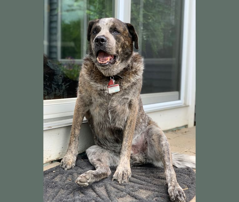 Photo of Fonzie McCaffrey, a Great Pyrenees, Beagle, Boston Terrier, Australian Shepherd, and Mixed mix in Tennessee, USA