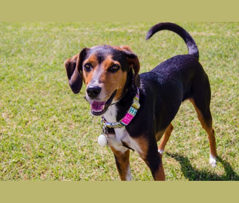 Photo of RLJ's LILLY OF THE VALLEY, a Treeing Walker Coonhound, Beagle, Australian Cattle Dog, Australian Shepherd, and Mixed mix in Auburn, Alabama, USA