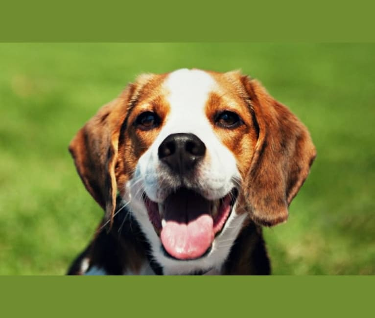 Photo of Bogey, a Beagle (8.2% unresolved) in Dublin, Ohio, USA