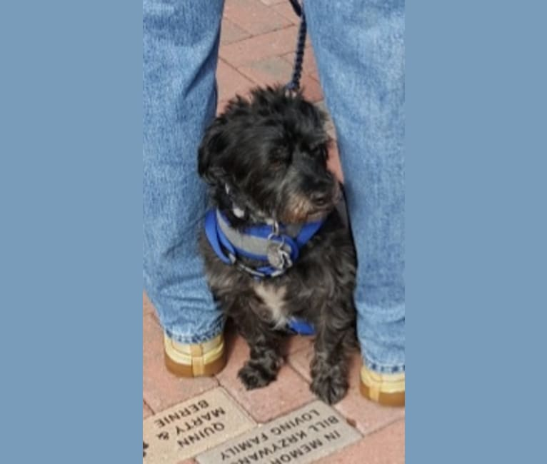 Photo of Augie, a Chihuahua, West Highland White Terrier, and Poodle (Small) mix in Maricopa, Arizona, USA