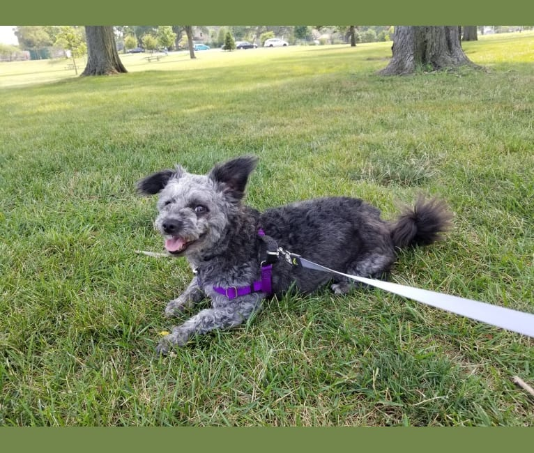 Photo of Ripley, a Chihuahua, Rat Terrier, Poodle (Small), and Mixed mix in Ozark, Missouri, USA