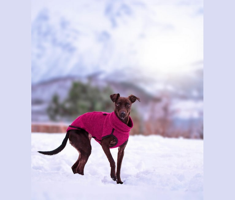Photo of Olivia, a Miniature Pinscher, Russell-type Terrier, Prague Ratter, Poodle (Small), and Mixed mix in Kypros
