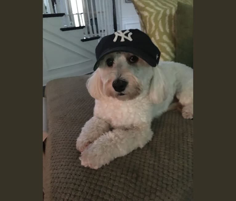 Photo of Teddy, a Poodle (Small), Maltese, Bichon Frise, Shih Tzu, and Mixed mix