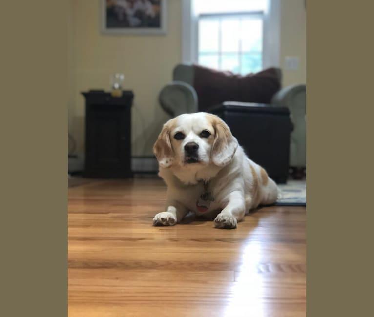 Photo of Danny, a Beagle and Pekingese mix in Falmouth, Massachusetts, USA