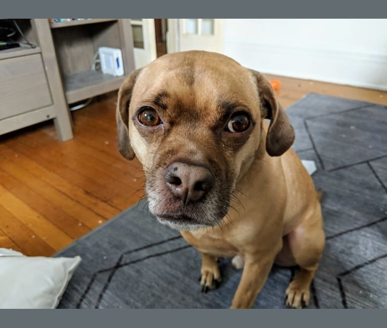 Photo of Howard, an American Pit Bull Terrier, Cocker Spaniel, and Pug mix in Buffalo, New York, USA