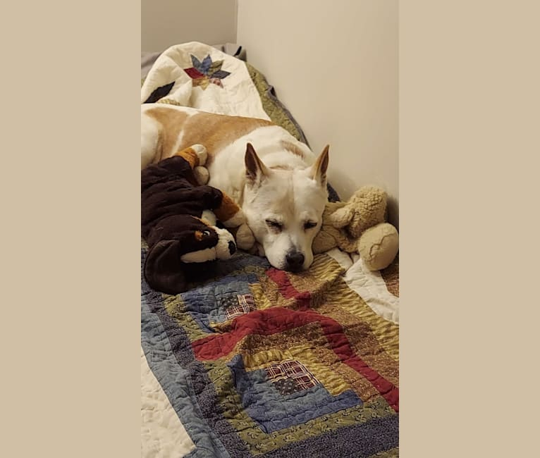 Photo of CALI, a Chow Chow, American Pit Bull Terrier, English Shepherd, and Mixed mix in Knoxville, Tennessee, USA