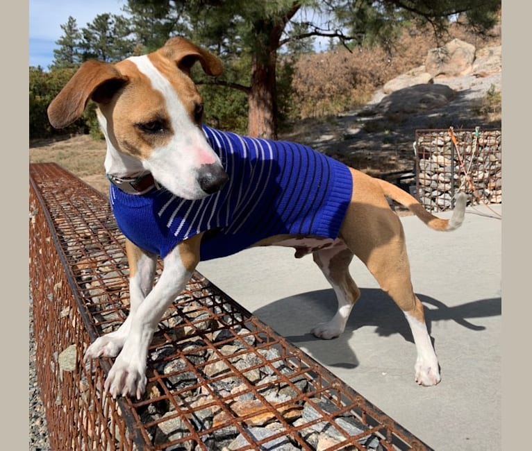 Photo of Portland, an American Pit Bull Terrier and Chihuahua mix in Houston, TX, USA