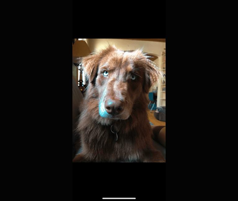Photo of Folger, an Australian Shepherd and Siberian Husky mix in Texas, USA