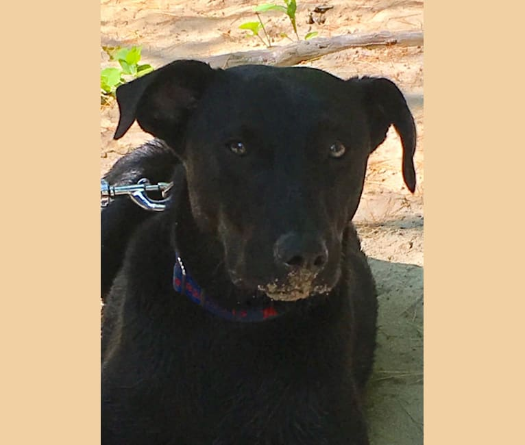 Photo of Drax, a Labrador Retriever, American Staffordshire Terrier, and Mixed mix in Georgia, USA