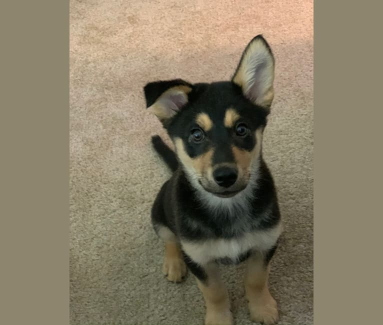 Photo of Ace, an Australian Cattle Dog, Siberian Husky, and Russell-type Terrier mix in Michigan, USA