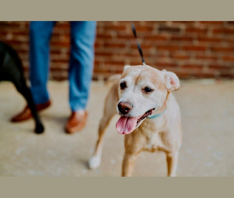Photo of Kimber, an American Pit Bull Terrier, Cocker Spaniel, and Mixed mix in Chattanooga, Tennessee, USA