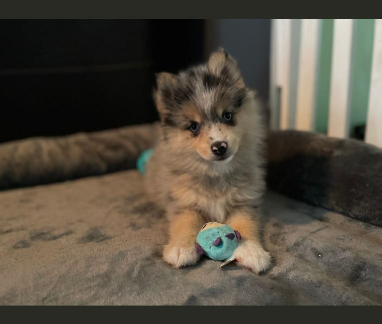 Photo of Skylar, a Pomsky  in Nocatee, FL, USA