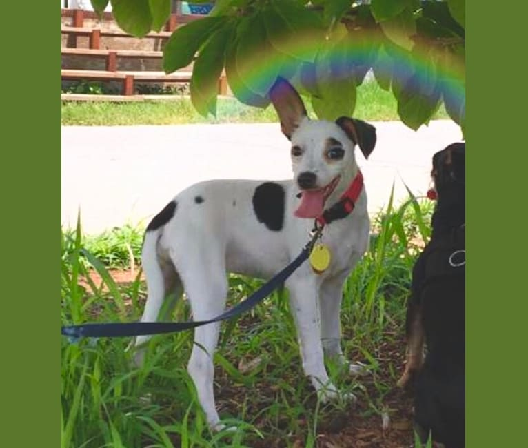 Photo of Cosmo, a Chihuahua, Rat Terrier, and Mixed mix in Atlanta, Georgia, USA