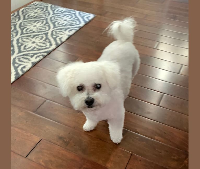Photo of Baby, a Bichon Frise  in Lake County Animal Shelter, County Road 561, Tavares, FL, USA