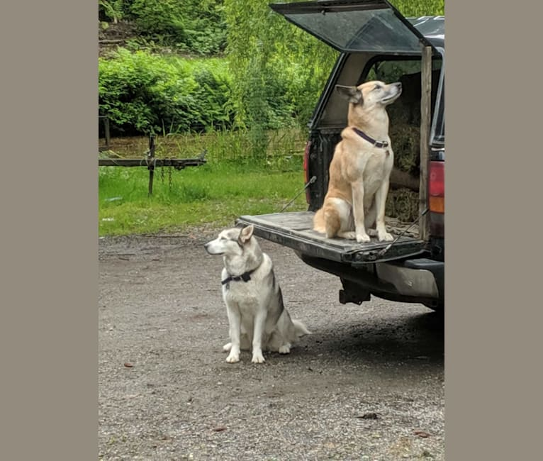 Photo of Ripley, an Akita Inu, Great Pyrenees, German Shepherd Dog, and Australian Cattle Dog mix in Mission, British Columbia, Canada